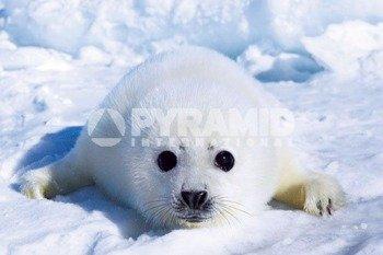 plakat HARP SEAL PUP