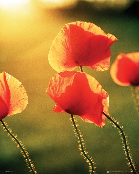 plakat POPPIES - GLOW